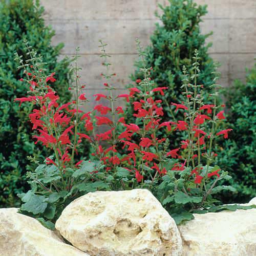 Salvia Hot Trumpets - Salvia roemeriana