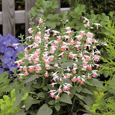 Salvia Hummingbird Coral Nymph - Annual Flower Seeds