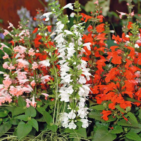 Salvia Hummingbird Mix
