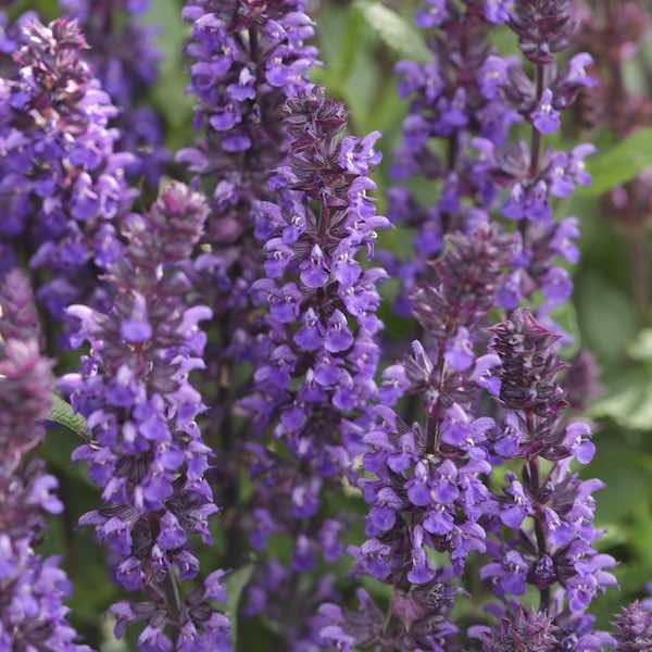 Salvia seeds 7 perennial salvias perennial flower seeds salvia new dimension blue salvia nemorosa mightylinksfo