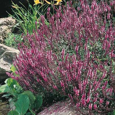 Savlia Rose Queen - Salvia nemorosa