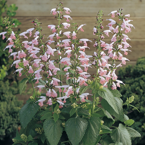 Summer Jewel Pink salvia