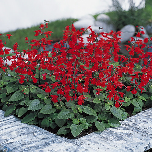 Salvia Summer Jewel Red