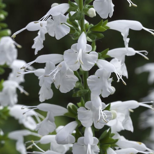 Salvia Summer Jewel White
