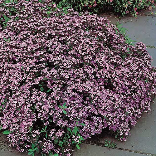 Soapwort saponaria seeds - Garden Seeds - Perennial Flower Seeds