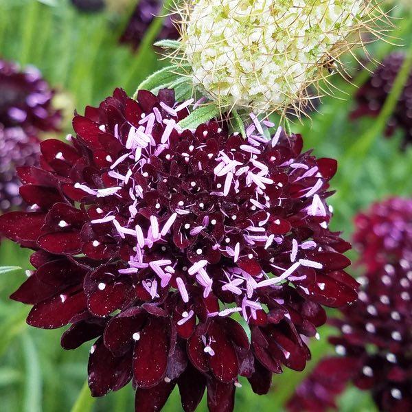 Black Knight scabiosa seeds