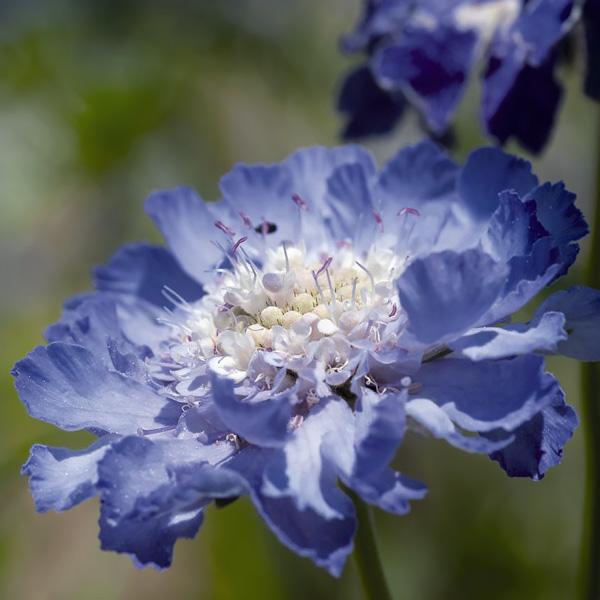 Scabiosa Fama Dark blue - Scabiosa caucasica