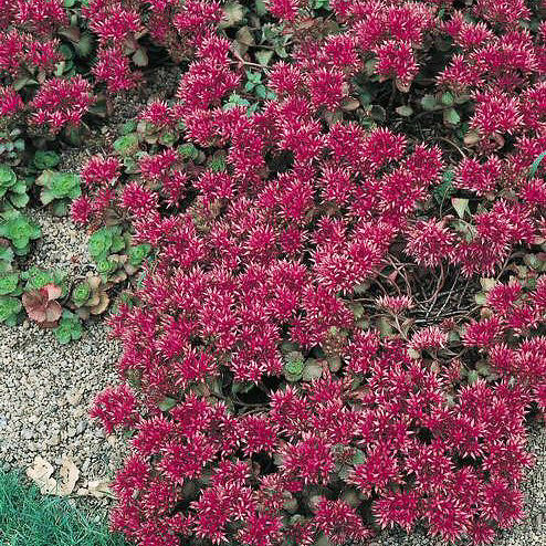 Sedum Red Carpet