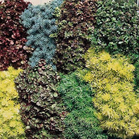 Sedum Rock Garden Blend - Sedum spp.