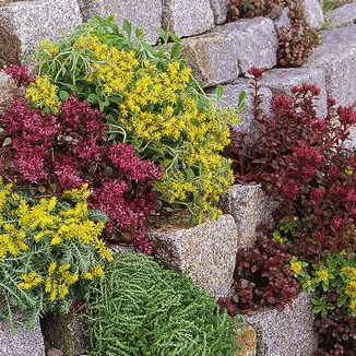 sedum rock garden blend rock garden blend sedum