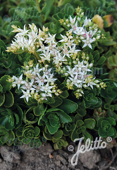 Sedum seeds 6 showy sedums perennial ground cover seeds sedum summer snow sedum spurium mightylinksfo