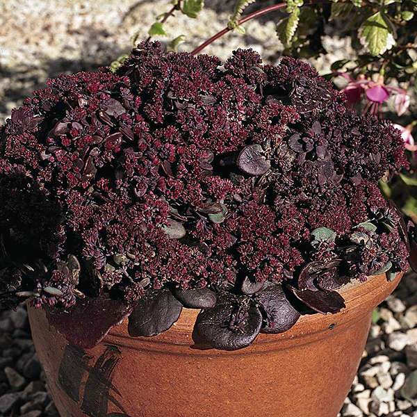 Sedum Turkish Delight - Sedum ussuriense