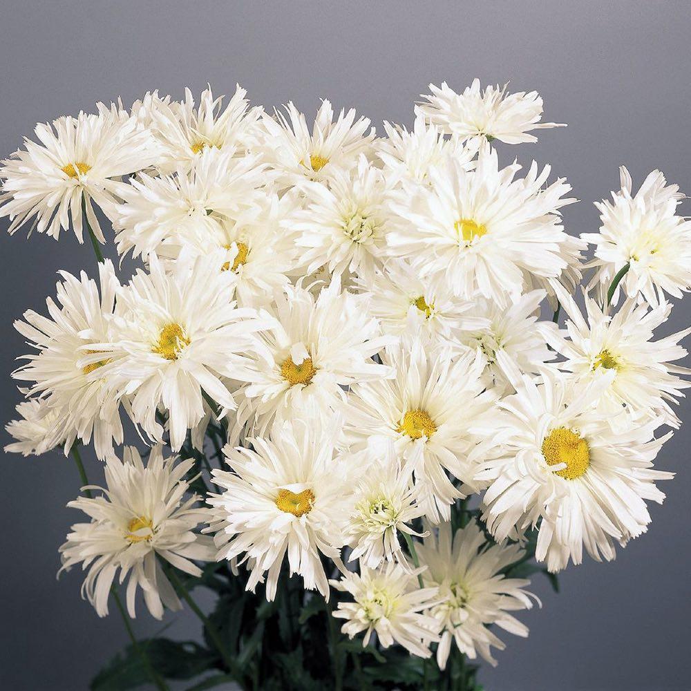 Shasta Daisy Crazy Daisy - Leucanthemum x superbum