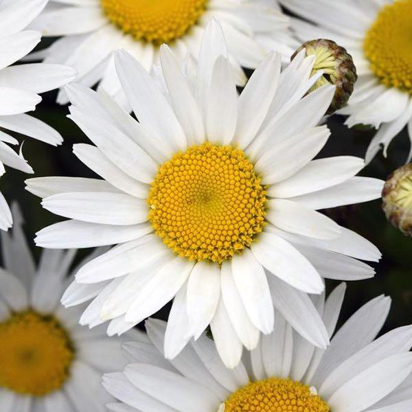 Shasta Daisy Madonna flowers