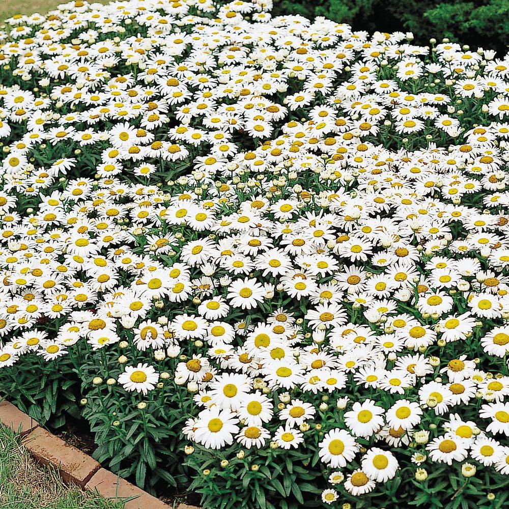 Snow Lady shasta daisies