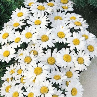 Shasta Daisy Snow Lady - Leucanthemum x superbum