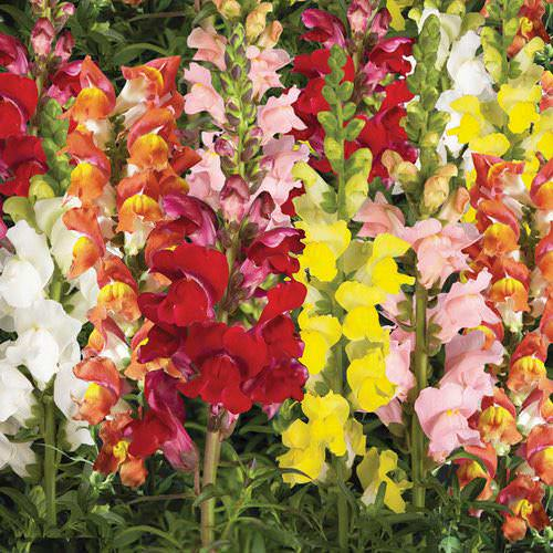 Snapdragons Arrow Mix
