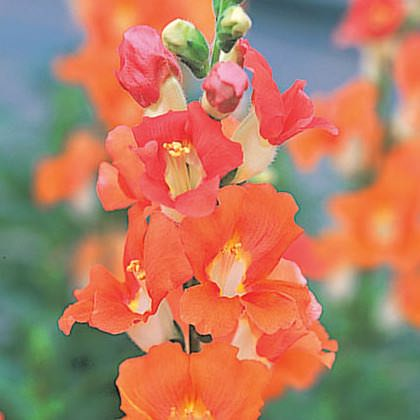 Snapdragons Chantilly Bronze