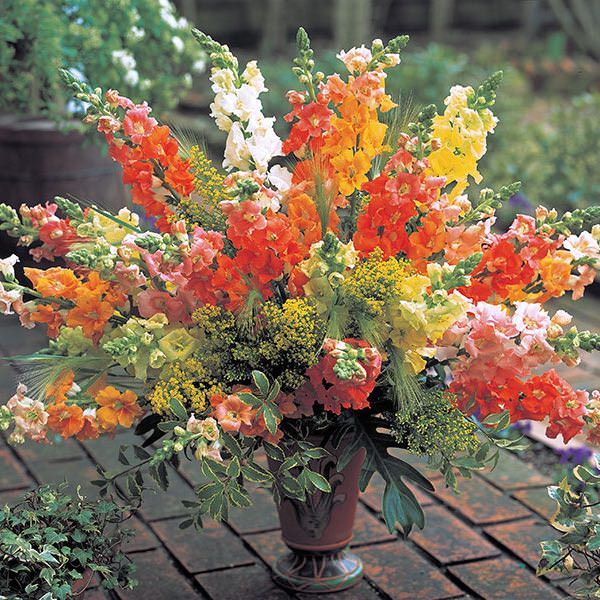 Snapdragons Chantilly Mix
