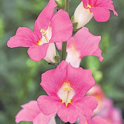 Snapdragons Chantilly Pink