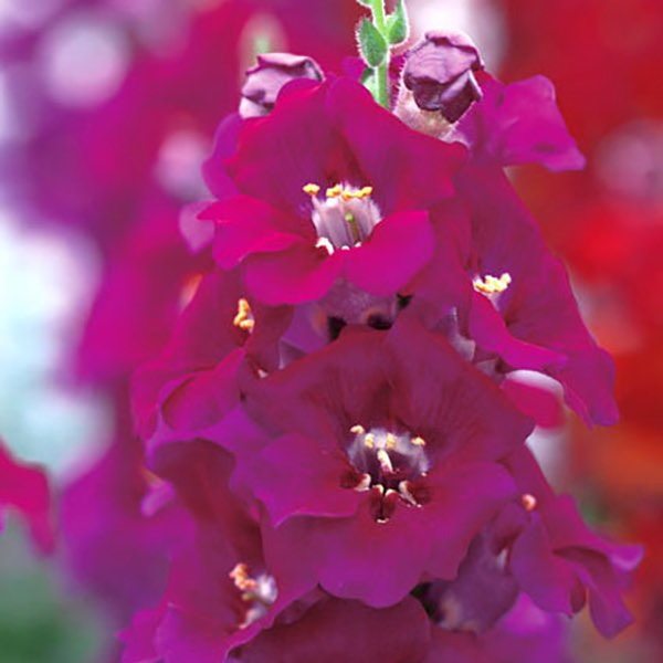 Snapdragons Chantilly Purple