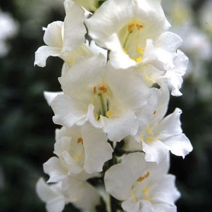 Snapdragons Chantilly White