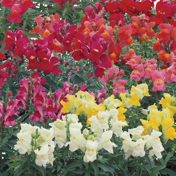 Snapdragons Floral Showers Mix