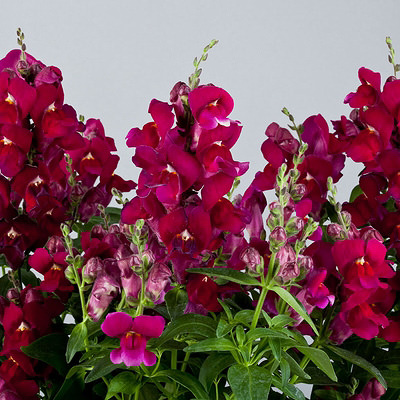 Snapdragons Floral Showers Purple