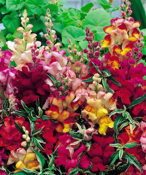 Snapdragon Frosted Flames