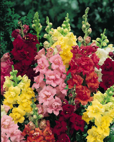 Snapdragons Madame Butterfly