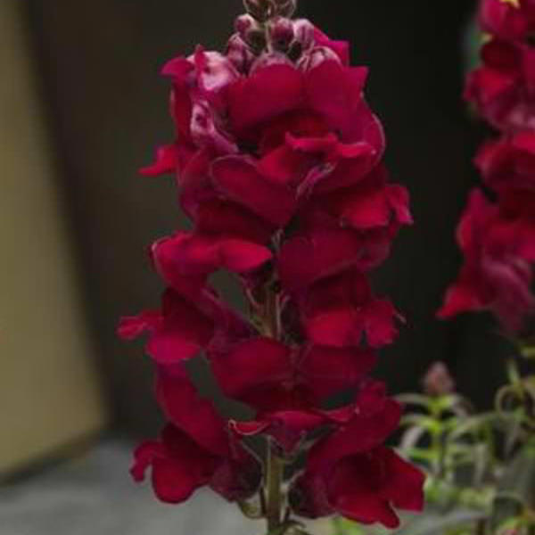 Snapdragons Sonnet Crimson - Annual Flower Seeds