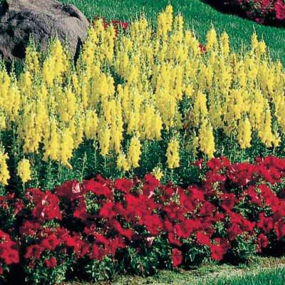 Snapdragons Sonnet Yellow
