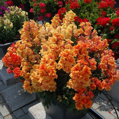 Snapdragons Twinny Bronze Shades - Annual Flower Seeds