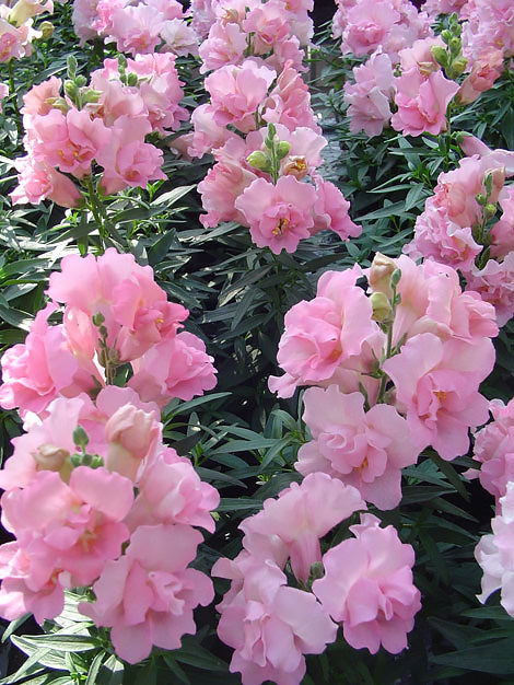 Snapdragons Twinny Rose - Annual Flower Seeds