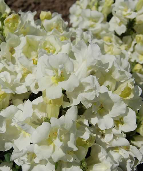 Snapdragon seeds 35 snapdragons annual flower seeds sgs snapdragons twinny white mightylinksfo