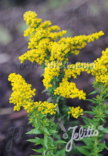 Little Miss Sunshine goldenrod seeds - Solidago canadensis