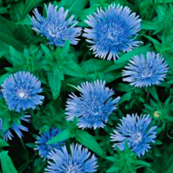 Stokesia seeds stokes aster perennial flower seeds stokesia blue star stokesia laevis mightylinksfo