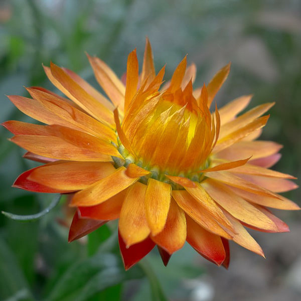 Apricot-Peach Mix strawflower