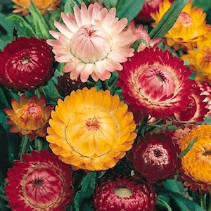 Strawflower seeds, Swiss Giants Mix