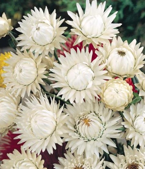 White Choice Double strawflower seeds