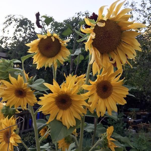 Helianthus Apricot Daisy sunflower