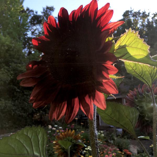 Sunflower ProCut Red