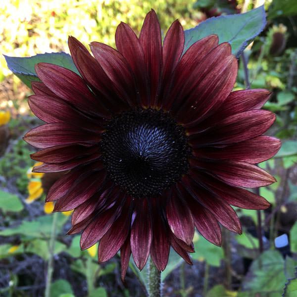 Helianthus ProCut Red Sunflower