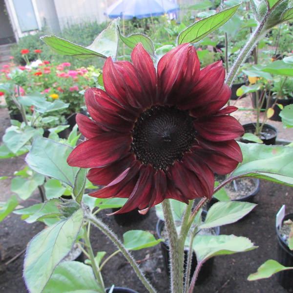 Sunflower Red Wave