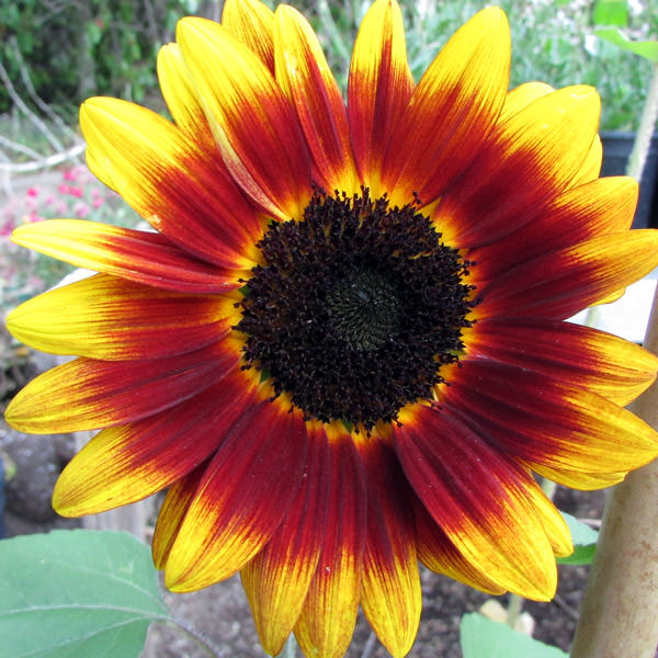 Helianthus Shock-o-Lat sunflower