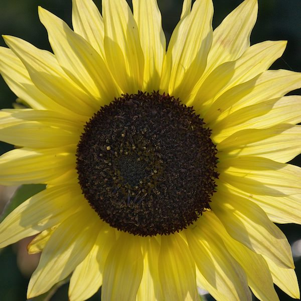Sunflower seeds flower seed annual flowers sunflower butter chiffon mightylinksfo Choice Image
