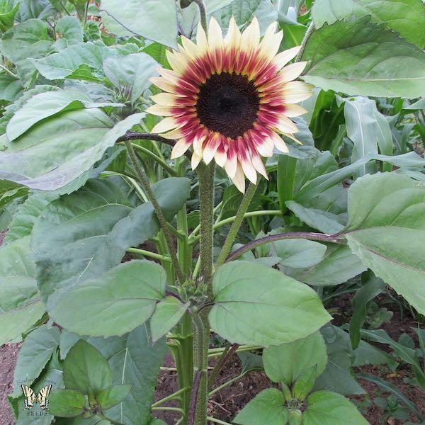 Sunflower Cherry Rose Plant