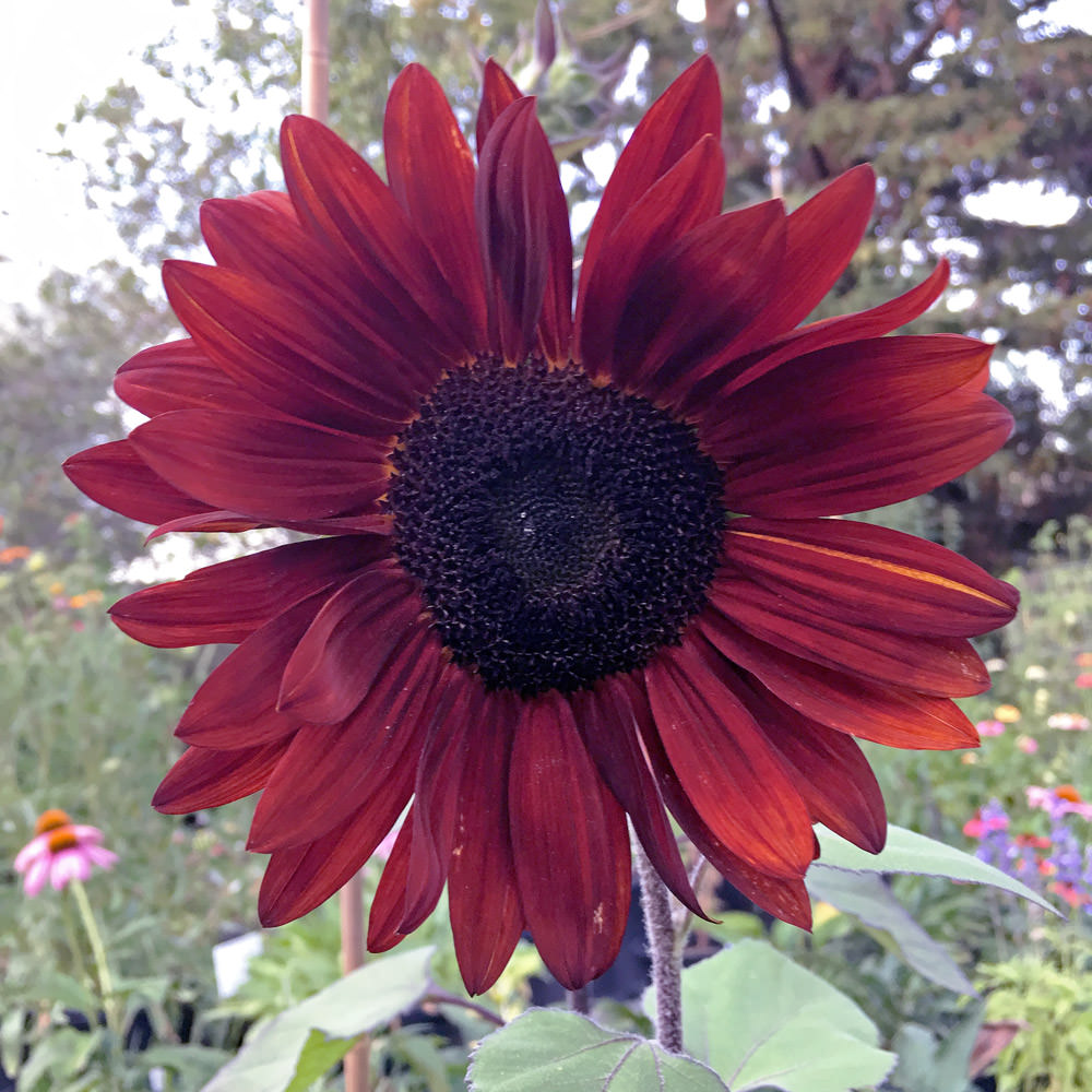 Sunflower Claret in the flower garden