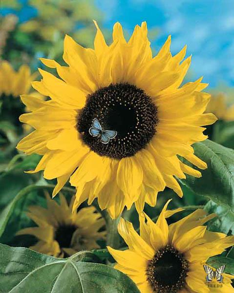 Sunflower Giganteus - Annual Flower Seeds