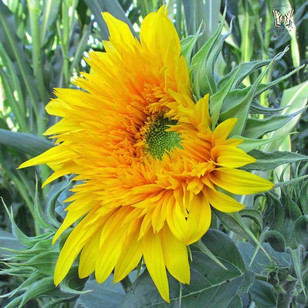 Sunflower Golden Cheer Flower Opening